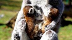 Lemury z wrocławskiego ZOO (ZOO Wrocław)