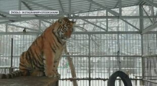 Sherhan - śpiewający tygrys